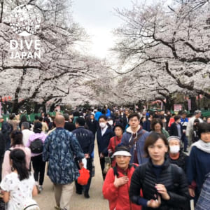 Cherry Blossom Spring in Ueno Park (Ueno)